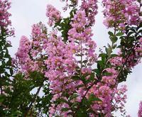pinksarusuberi.jpg